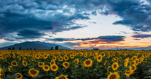 A field of sunflowers at sunset Stock Images