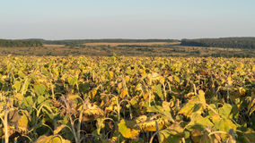 Field of sunflowers at sunset. Royalty Free Stock Image