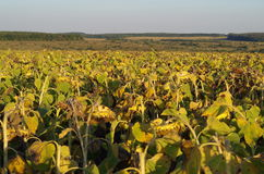 Field of sunflowers at sunset. Royalty Free Stock Photography