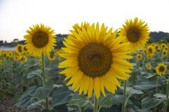 Sunflowers field at sunset stock photo