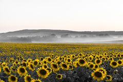 Field of sunflowers at sunset. A field of yellow sunflowers on a black and white sunset Stock Images