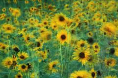 Field of Sunflowers Swaying in Summer Breeze. Field of sunflowers waving in the breeze of summer Royalty Free Stock Images