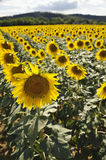 Field of sunflowers in Toscany Royalty Free Stock Photography