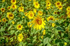 Field with Sunflowers Trembling in the Wind.  Stock Photo