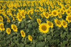 Field of sunflowers in Tuscany. Stock Images