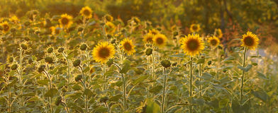 Field of sunflowers in Tuscany. Royalty Free Stock Images