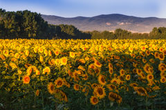 Field of sunflowers in Tuscany Royalty Free Stock Images