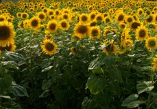A field of sunflowers in Ukraine Royalty Free Stock Photos