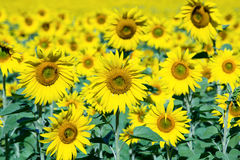 Field sunflowers, in Ukraine Stock Images
