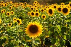 Field of sunflowers under bright sun Stock Image