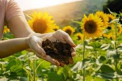 Field of sunflowers under bright sun Royalty Free Stock Photo