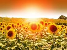 Field of sunflowers under bright sun Royalty Free Stock Photos
