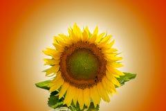 Field of sunflowers under bright sun Stock Photography