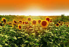 Field of sunflowers under bright sun Royalty Free Stock Photography