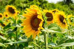 Field of sunflowers under bright sun Royalty Free Stock Image