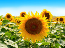 Field of sunflowers under bright sun Royalty Free Stock Images
