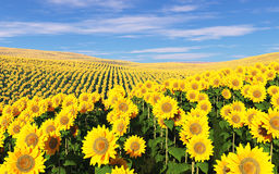 Field of sunflowers under a cloudy sky. Stock Photo