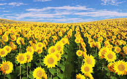 Field of sunflowers under a cloudy sky. Royalty Free Stock Image