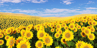 Field of sunflowers under a cloudy sky. Royalty Free Stock Images