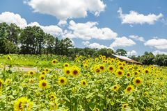 Field of Sunflowers Under Sunny Sky Royalty Free Stock Images