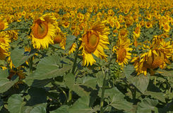 Field of sunflowers. View on field of sunflowers Stock Photography