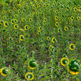 Field of sunflowers in the village Stock Image