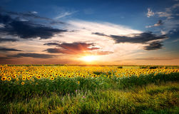 Field of sunflowers. Field of yellow blossoming sunflowers at sunrise Royalty Free Stock Images