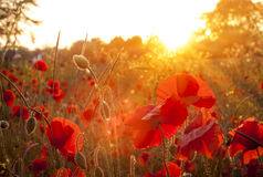 Field of sunlit red poppies at sunset Royalty Free Stock Photo