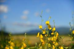 The field of Sunn hemp. Stock Photos
