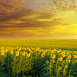 Field  and sunrise. Field of sunflowers and sunrise Stock Photography