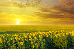 Field and sunrise. Field of sunflowers and sunrise Stock Photos