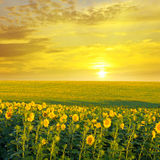 Field  and sunrise. Field of sunflowers and sunrise Stock Image