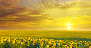 Field  and sunrise. Field of sunflowers and sunrise Royalty Free Stock Image