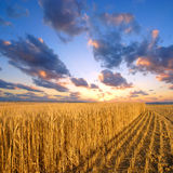 Field at sunset. Wheat field at sunset with great clouds above Royalty Free Stock Photos