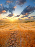 Field at sunset. Wheat field at sunset with great clouds above Royalty Free Stock Image