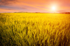 Field and sunset Stock Images