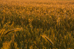 Field at sunset colors Stock Image