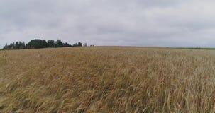 Yellow Field drone flight, agriculture farm, farming, aerial landscape, sky. Field sunset drone farmland, green, harvest, plant, uav, photography camera stock video