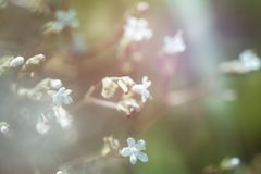 Small white flowers on a natural green background, soft focus, v. Field, sunset, fog and blossoming burdock bush- natural background and copy space royalty free stock images