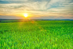 Field on sunset. Green field of meat on sunset Stock Image