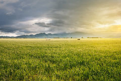 Field at sunset with growing wheat and mountains view in the far distance royalty free stock image