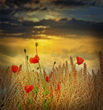 Field at sunset time Royalty Free Stock Photo