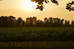 Field at sunset. Village Of Italy. The corn field. View of the sunset. Summer Royalty Free Stock Photo
