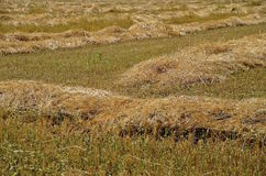 A field of swathed wheat Stock Images