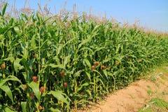 The field of sweet corn Stock Image