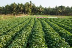Field of sweet potatoes on the background of coconut trees. Macro photo. Peasant garden. Fresh greenery. Ecological farm. The farm. Plants and flowers. Sharp Royalty Free Stock Image