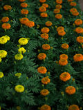 FIELD OF TAGETES, MARIGOLD royalty free stock photography