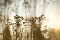 Silhouetted tall wild flowers, soft yellow tones stock image
