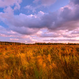Field of tall grass. Blowing in the wind at sunset Royalty Free Stock Image