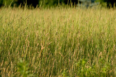 A Field of Tall Grass Stock Image